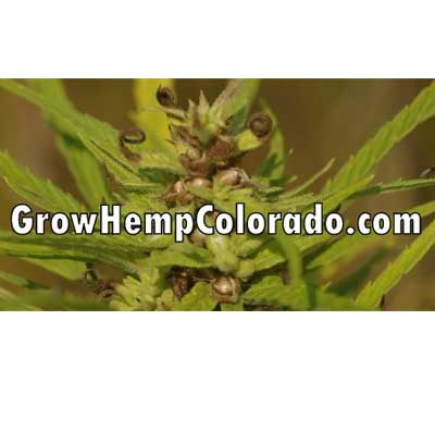 Grow Hemp Colorado