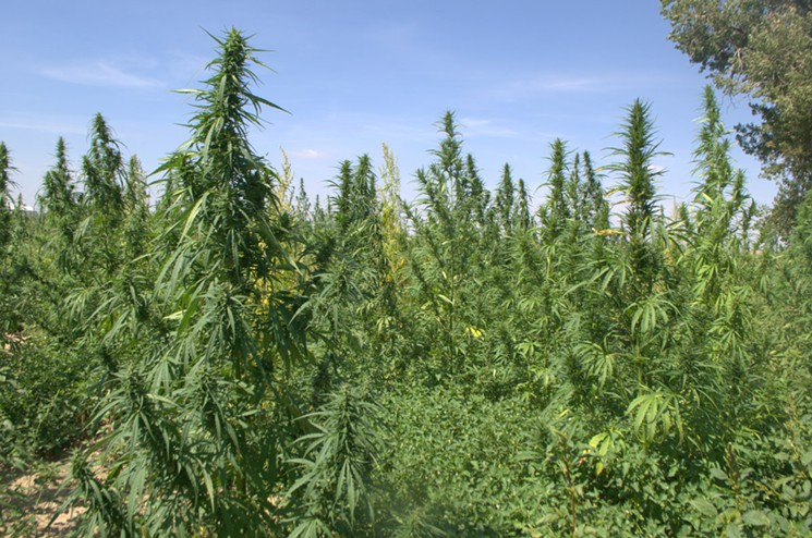 The Colorado Cultivars hemp farm covers 293 acres.